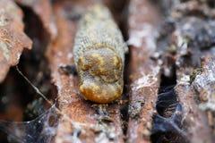 Makrohuvud av den vuxna Caucasian kulan för blötdjurArion-ater på trädlodisar Arkivbild