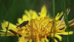 Makroinsekten, die auf Anlagen stillstehen, essen und dann weg an einem sonnigen Tag fliegen stock video footage