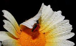 Makrokryp på en daizy yttersida Arkivbilder
