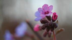 Makrolängd i fot räknat av en rosa kulör blomma och knoppar av unspotted lungwort, Pulmonaria obscura som vaggar i vinden, mjuk s lager videofilmer