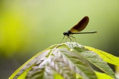 Libelle auf Betriebsblatt Stockbild