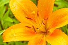 Makrolilienleuchtorangefarbe mit Regentropfen auf den Blumenblättern Stockbilder