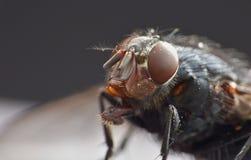 Makrolinsslut upp detaljskott av en gemensam husfluga med stora röda ögon som tas i UK royaltyfria foton