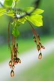 Makromarple Blume Stockfoto