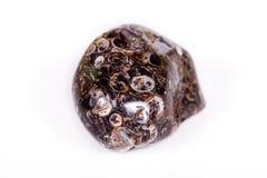 Makromineralachatfossil an versteinert mit versteinerten Schildkröten stockfoto