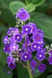 Makronahaufnahme der Gruppe purpurroter Blumen im botanischen Garten Stockfotografie