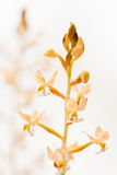 Makronahaufnahme der Juwel-Orchidee (Ludisia entfärben) Lizenzfreies Stockfoto