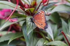 Makronahaufnahme des Monarchfalters auf grünem Blatt im Garten Lizenzfreies Stockfoto
