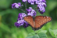 Makronahaufnahme des Monarchfalters auf purpurroter Blume im Garten Lizenzfreie Stockbilder