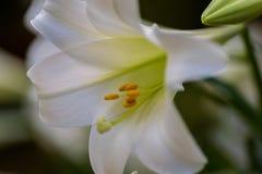 Makronahaufnahme einer einzelnen Blüte der weißen Lilie Stockfotos