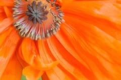 Makronahaufnahme roter Mohnblumenblumenstempel und -staubgefäß Lizenzfreie Stockbilder