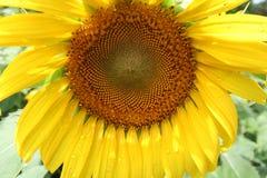 Makronaher hoher Schuss der Sonnenblumenblüte mit Wassertropfen lizenzfreies stockbild