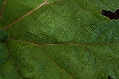 Makronahes hohes Detail des großen grünen Blattes Lizenzfreie Stockfotografie