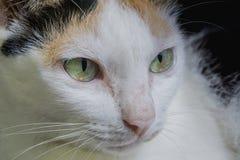Makronahes hohes Gesicht und Augen der weißen Kätzchenkatze Lizenzfreie Stockfotografie