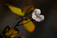 Makropfirsich-Blüte Stockfoto