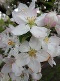 Makrophotoflowers av äppleträdet Arkivfoto