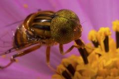 MAKROphotographie der Insekten-Fliege lizenzfreie stockfotos
