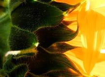 Makrophotographie der Sonnenblume Stockfotografie