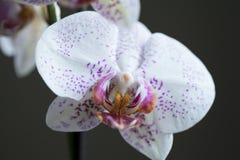 Makrophotographie der weißen und purpurroten Stellenorchidee auf dunklem Hintergrund lizenzfreie stockfotos