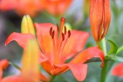 Makrophotographie, Nahaufnahme orange Lilie lizenzfreie stockfotos