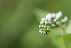 Makrophotographie von Blumenknospen im grünen Hintergrund Lizenzfreie Stockfotos