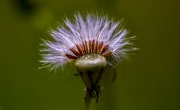 Makrophotographie von Samen eines Asteraceae gehen voran lizenzfreies stockfoto