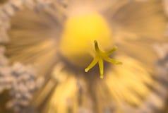 Makropistill av den gula blomman i solljus Arkivfoton