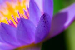 Makropollen av purpurfärgad lotusblomma arkivbild