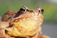 Makroporträt des gemeinen Frosches Lizenzfreie Stockfotografie