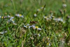 Makroprofilfoto einer Wespe der gelben Jacke, die Nektar von einem kleinen Wildflower saugt Lizenzfreies Stockfoto