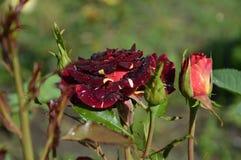 Makroregentropfen auf Rosen des Parks Lizenzfreie Stockfotografie
