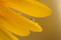 Makroregn dews på blommande solroskronblad Arkivfoton