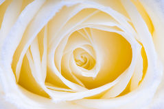 makrorosewhite Royaltyfri Foto