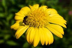Makroschuß der Biene Blütenstaub vom Mexikaner Daisy Flower Background sammelnd Lizenzfreie Stockfotos