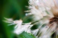Makroschuß der flaumigen und zerbrechlichen Löwenzahnblume mit Regentropfen des frühen Morgens lizenzfreies stockbild