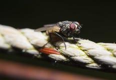 Makroschuß der Fliege Stockbilder