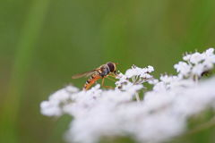 Makroschuß der Fliege auf Blume lizenzfreies stockbild