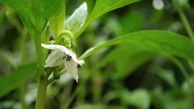 Makroschuß der kleinen Paprikaanlagenblume genommen von den indischen Gärten lizenzfreies stockbild