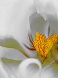 Makroschuß der Orchidee stockfotografie