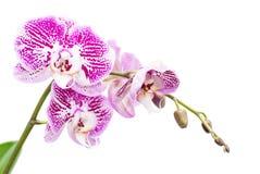 Makroschuß der rosa Orchidee lokalisiert auf Weiß Stockbild