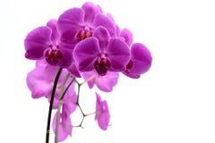 Makroschuß der rosa Orchidee lokalisiert auf Weiß stockbilder