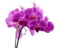 Makroschuß der rosa Orchidee lokalisiert auf Weiß lizenzfreie stockfotografie