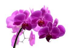 Makroschuß der rosa Orchidee lokalisiert auf Weiß lizenzfreies stockfoto