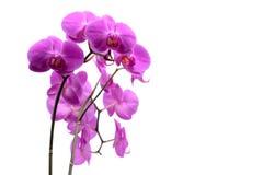 Makroschuß der rosa Orchidee lokalisiert auf Weiß stockfotografie