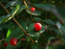 Makroschuß der roten Beere auf der Niederlassung Stockbilder