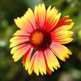 Makroschuß der roten Blume über unscharfem Grün Stockfotos