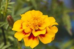 Makroschuß der schönen orange Blume stockbilder