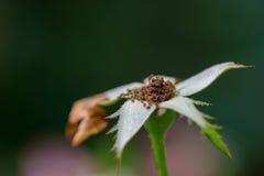 Makroschuß der sterbenden Blumen-Blume Stockbild