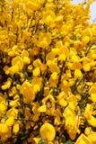 Makroschuß der wilden schottischen Besenanlage in voller Blüte an einem sonnigen Tag lizenzfreie stockfotos
