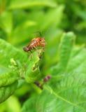 Makroschuß des Insekts auf einem Blatt Stockfoto